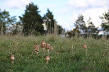 Several fruit bodies of the edible parasol mushroom (Macrolepiota procera).