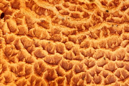 Macro of scaly cap surface of Gymnopilus junonius, or the Spectacular Rustgill.