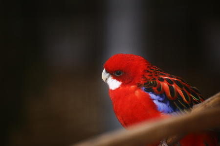 An eastern rosella (Platycercus eximius) looking curious. Stock Photo