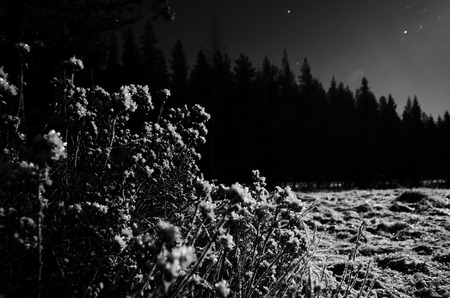 Black and white image of shrub in nordic winter night.
