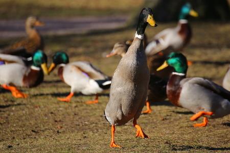 Curious mallard standing tall in a flock.