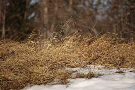 Dry grass in winter in the wind.