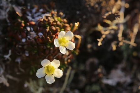 Two flowers of Diapensia lapponica, the pincushion plant.