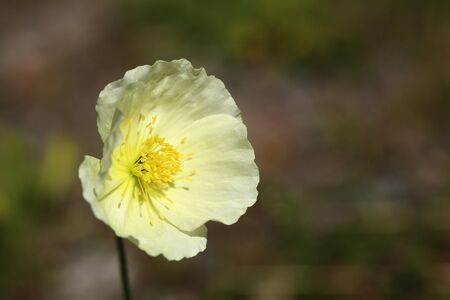 Blossom of Papaver croceum, the Ice poppy. 写真素材