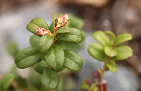 Flower buds of Vaccinium vitis-idaea, the lingonberry.