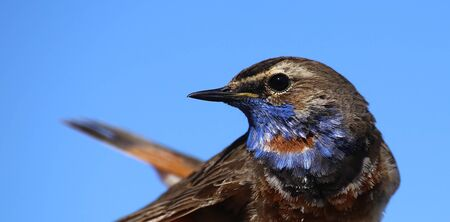 Portrait of Luscinia svecica, the Red-spotted Bluethroat. Stockfoto