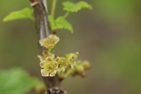 Ribes spicatum, a species of currants, with flowers.