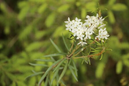Flowers of Rhododendron tomentosum, the wild rosemary. 版權商用圖片 - 131362916