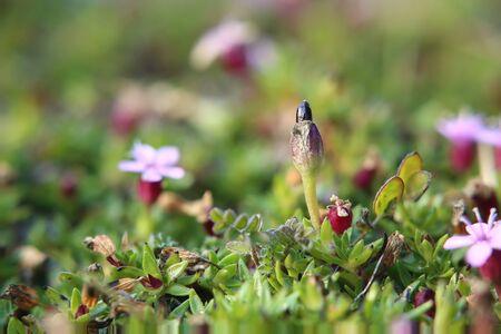 Silene acaulis, the moss campion, with fruit.
