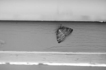 Black and white image of Nola karelica, a tuft moth. Фото со стока - 131363335
