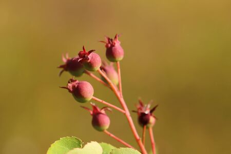 Group of Amelanchier berries, ripening in the sunlight.