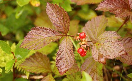 Rubus saxatilis, commonly called the stone bramble, with fruits.
