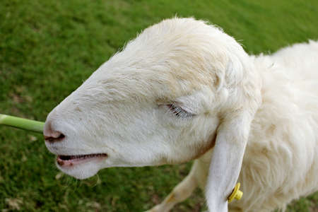 masticate: white sheep in farm Stock Photo