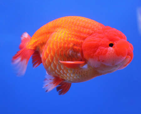 jelly head: big goldfish in aquarium