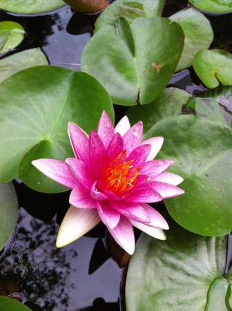 waterlillies: pink Waterlily  Stock Photo