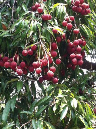 lychees: Fresh lychees at Thailand. Stock Photo