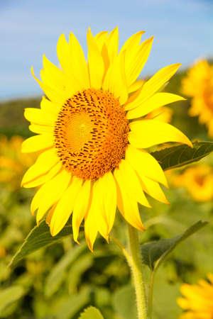 no1: Sunflowers field No.1 Stock Photo