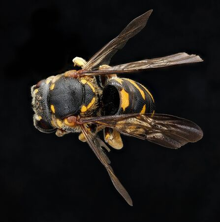 Dianthidium simile, beeMacro specimen, Flying insect , side front back, A new state record for Virginia. Foto de archivo