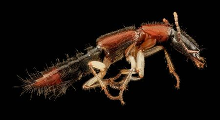 Rove beetle Macro specimen, Flying insect, side