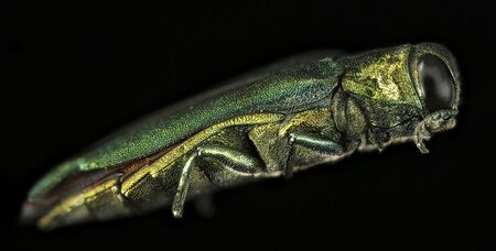 emerald ash borer Destroyer of Ash, beautiful Buprestid beetle. , Flying insect, side
