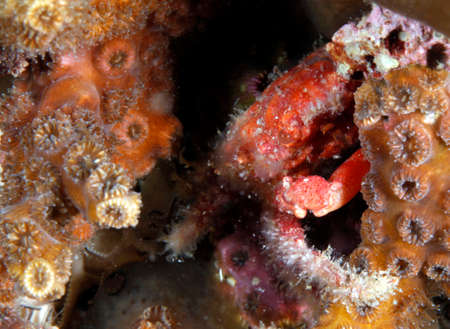 Hundreds of marine organisms rely on coral reefs for food, shelter, mating grounds and more, like this mithrax crab in Gray's Reef National Marine Sanctuary.