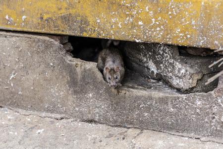 ネズミが建物の下から出てくる。選択と集中 写真素材