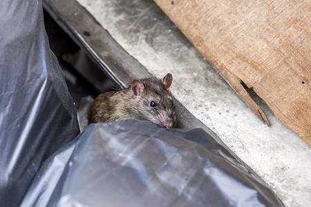 A rat behind the garbage bag. selective focus Foto de archivo