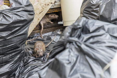Mice in the garbage, old foam and black bags. Selective focus.