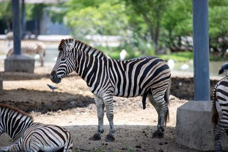 A zebra is standing in the shade on a sunny day. Educational picture.
