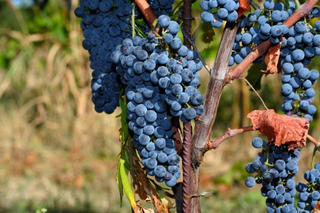 Blue grapevine in the vineyard, harvest time