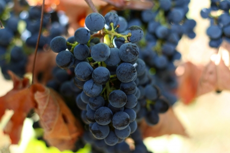 Blue vineyard, harvest time Stock Photo