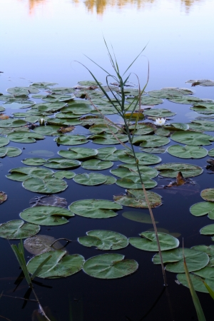 Water lilies in the water, dark colors Stock Photo