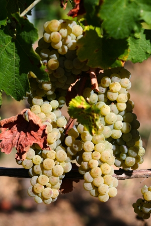 White grapevine in the vineyard, harvest time