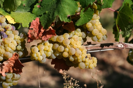 White grapevine in the vineyard, harvest time Stock Photo - 16631145