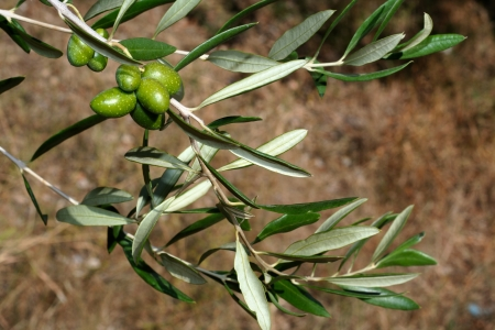 Olives and leaves harvest time