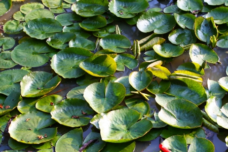 Water lilies covering water in a small lake