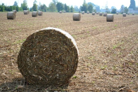 Agriculture hay bale in the field, harvest time