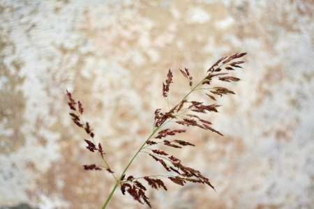 Cereal agricolture time, harvest period  on a wall background Stock Photo