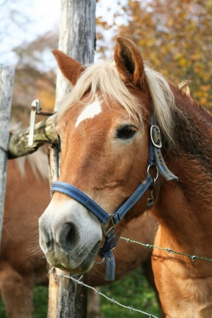 Portrait of a blonde horse in a lighted field