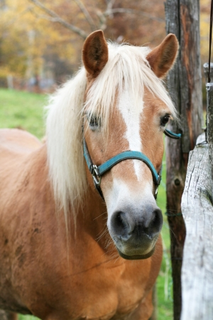 Portrait of a blonde horse in a lighted field  photo