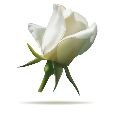 white rosebud isolated on white background in vector format.