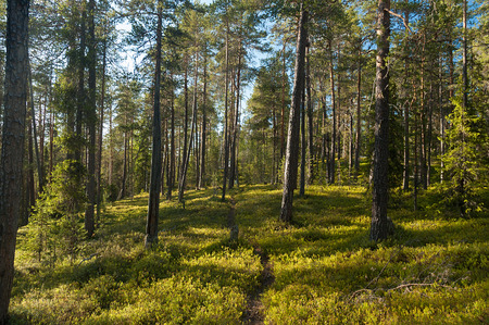 Ein sonniger tag in einem kiefernwald Standard-Bild - 75499711