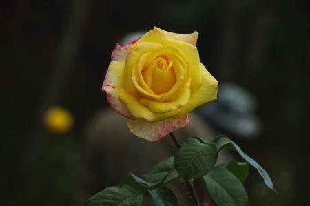 rosoideae: A rose Stock Photo