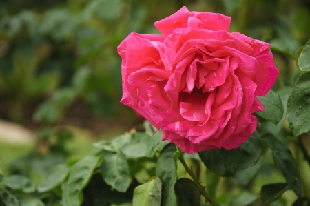 rosoideae: A rose is a woody perennial of the genus Rosa, within the family Rosaceae. There are over 100 species. They form a group of erect shrubs, and climbing or trailing plants, with stems that are often armed with sharp prickles. Flowers are large and showy, in Stock Photo