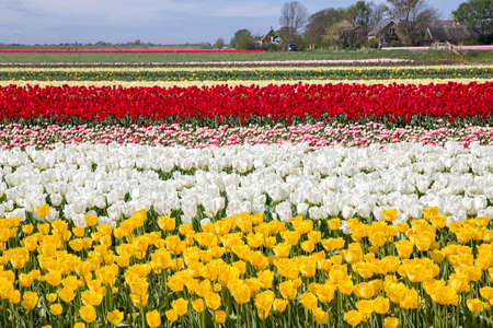 Spring in the head of North Holland. Beautiful bulb fields and tulips in bloom