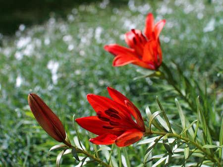 orange lily: orange lily in the sunny garden Stock Photo