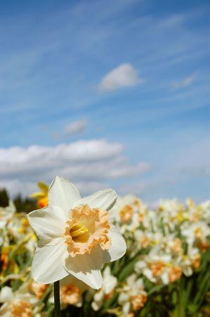 Bright field of daffodils
