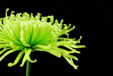 green chrysanthemum on a black background Stock Photo