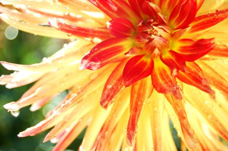 glowing dahlia with morning dew on it