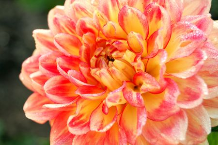 bright and vibrant dahlia in the morning sun